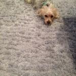 south-san-francisco-Dog-carpet-clean